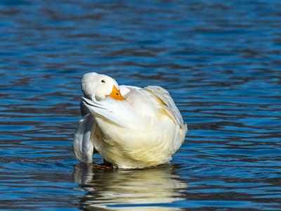Duck 29 Nov 2018-7558