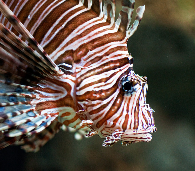 Eye of the Tiger . . . er, Lionfish