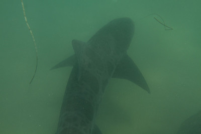 Leopard Shark, shallows off La Jolla Shores, CA 8/18/2013