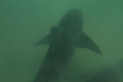 Swimming with Leopard sharks, murky water off La Jolla 8/18/2013