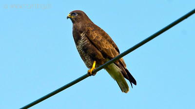 Buzzard, Hometown, Switzerland