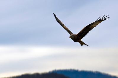Red Kite, Hometown, Switzerland