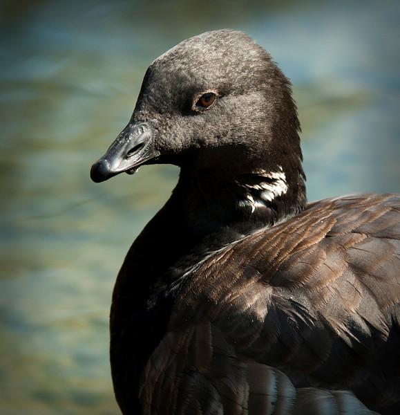 Atlantic Brent Goose