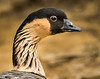 Nene (Hawaiian Goose) - The state bird of Hawaii nearly went extinct in the 1950's but recovered due to conservation efforts - Nov 2016