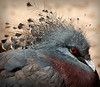 Common (Western) Crowned Pigeon