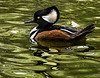 Hooded Merganser- Nov 2016