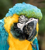 Blue and Gold Macaw - Nov 2016