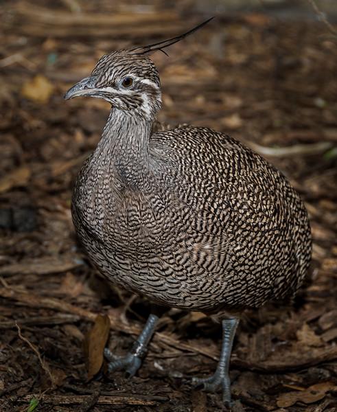 Crested Partridge - Nov 2016
