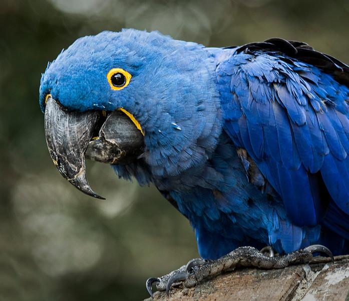 Hyacinth Macaw - Nov 2016
