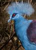Blue-crowned pidgeon - Nov 2016
