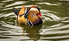 Mandarin Duck (Male) - Nov 2016