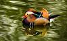 Mandarin Duck (Male) - Nov 2016