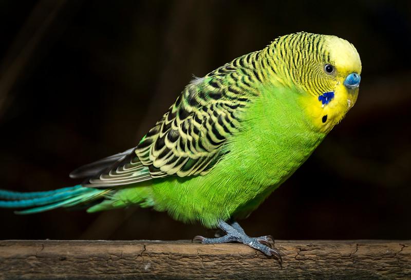 Parakeet -  Nov 2016