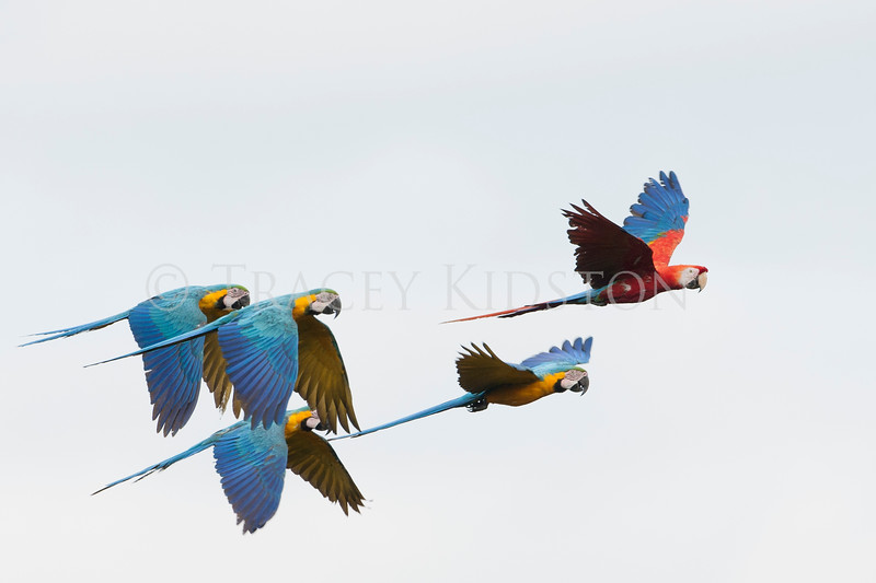 Blue-and-yellow macaw (Ara ararauna) Scarlet macaw (Ara macao)<br /> <br /> You may purchase a print or a digital download. If purchasing a digital download please look at the licensing agreement terms for personal or commercial use.<br /> <br /> There are two options available for this print. You may order any size you like through my site by clicking the buy tab in the upper right corner. In addition you may purchase directly from me a giclée print measuring 12x18 inches, mounted with a 3-inch mat and personally signed by me. The total cost including shipping within the United States is $225.00. <br /> 50% of all sales proceeds in this gallery will be donated directly to the Tambopata Macaw Project.<br /> <br /> To order a print please contact me directly at 253-820-5223 or email me at info@traceykidstonphotography.com.<br /> <br /> For further information on the important research that the Tambopata Macaw Project is doing in Peru, please visit my links page