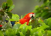 Scarlet macaw (Ara macao)<br /> <br /> You may purchase a print or a digital download. If purchasing a digital download please look at the licensing agreement terms for personal or commercial use.<br /> There are two options available for this print. You may order any size you like through my site by clicking the buy tab in the upper right corner. In addition you may purchase directly from me a giclée print measuring 12x18 inches, mounted with a 3-inch mat and personally signed by me. The total cost including shipping within the United States is $225.00. <br /> 50% of all sales proceeds in this gallery will be donated directly to the Tambopata Macaw Project.<br /> <br /> To order a print please contact me directly at 253-820-5223 or email me at info@traceykidstonphotography.com.<br /> <br /> For further information on the important research that the Tambopata Macaw Project is doing in Peru, please visit my links page