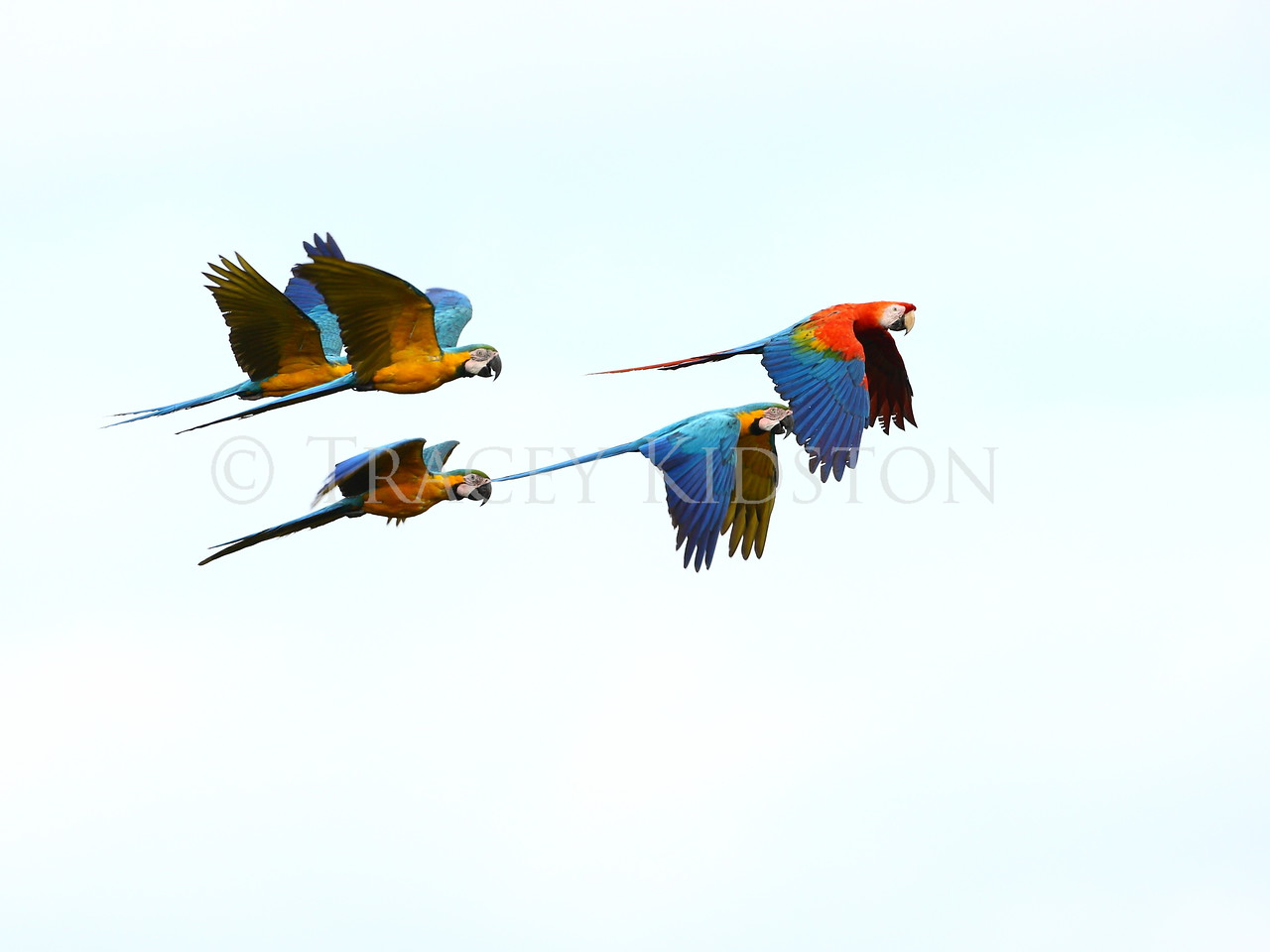 Blue and Yellow and Scarlet Macaws<br /> <br /> You may purchase a print or a digital download. If purchasing a digital download please look at the licensing agreement terms for personal or commercial use.<br />  <br /> There are two options available for this print. You may order any size you like through my site by clicking the buy tab in the upper right corner. In addition you may purchase directly from me a giclée print measuring 12x18 inches, mounted with a 3-inch mat and personally signed by me. The total cost including shipping within the United States is $225.00. <br /> 50% of all sales proceeds in this gallery will be donated directly to the Tambopata Macaw Project.<br />  <br /> To order a print please contact me directly at 253-820-5223 or email me at info@traceykidstonphotography.com.<br />  <br /> For further information on the important research that the Tambopata Macaw Project is doing in Peru, please visit my links page.