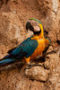 Blue-and-yellow macaw (Ara ararauna)<br /> <br /> You may purchase a print or a digital download. If purchasing a digital download please look at the licensing agreement terms for personal or commercial use.<br /> There are two options available for this print. You may order any size you like through my site by clicking the buy tab in the upper right corner. In addition you may purchase directly from me a giclée print measuring 12x18 inches, mounted with a 3-inch mat and personally signed by me. The total cost including shipping within the United States is $225.00. <br /> 50% of all sales proceeds in this gallery will be donated directly to the Tambopata Macaw Project.<br /> <br /> To order a print please contact me directly at 253-820-5223 or email me at info@traceykidstonphotography.com.<br /> <br /> For further information on the important research that the Tambopata Macaw Project is doing in Peru, please visit my links page
