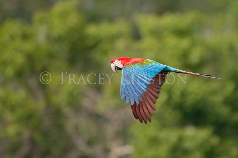Red-and-green macaw (Ara chloropterus)<br /> <br /> You may purchase a print or a digital download. If purchasing a digital download please look at the licensing agreement terms for personal or commercial use.<br /> <br /> There are two options available for this print. You may order any size you like through my site by clicking the buy tab in the upper right corner. In addition you may purchase directly from me a giclée print measuring 12x18 inches, mounted with a 3-inch mat and personally signed by me. The total cost including shipping within the United States is $225.00. <br /> 50% of all sales proceeds in this gallery will be donated directly to the Tambopata Macaw Project.<br /> <br /> To order a print please contact me directly at 253-820-5223 or email me at info@traceykidstonphotography.com.<br /> <br /> For further information on the important research that the Tambopata Macaw Project is doing in Peru, please visit my links page