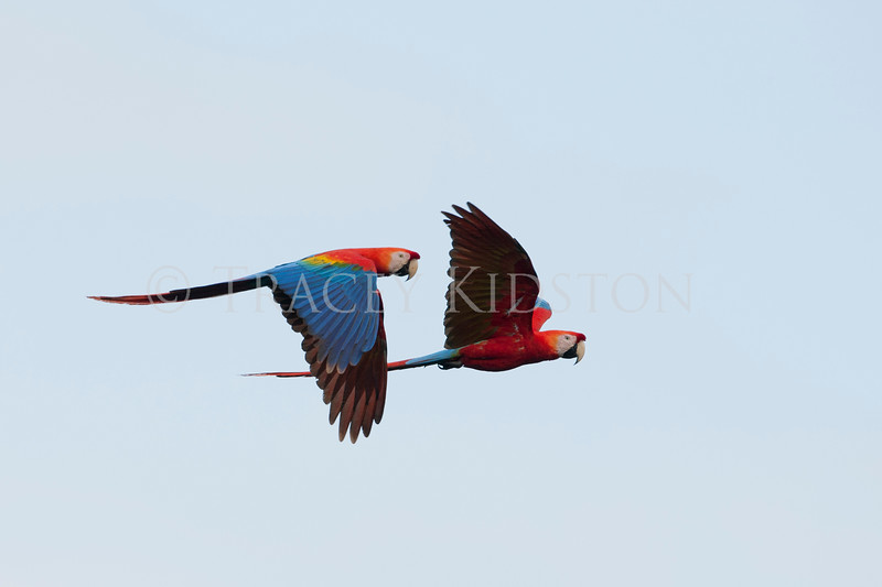 Scarlet macaw (Ara macao)<br /> <br /> You may purchase a print or a digital download. If purchasing a digital download please look at the licensing agreement terms for personal or commercial use.<br /> <br /> There are two options available for this print. You may order any size you like through my site by clicking the buy tab in the upper right corner. In addition you may purchase directly from me a giclée print measuring 12x18 inches, mounted with a 3-inch mat and personally signed by me. The total cost including shipping within the United States is $225.00. <br /> 50% of all sales proceeds in this gallery will be donated directly to the Tambopata Macaw Project.<br /> <br /> To order a print please contact me directly at 253-820-5223 or email me at info@traceykidstonphotography.com.<br /> <br /> For further information on the important research that the Tambopata Macaw Project is doing in Peru, please visit my links page