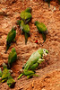 Mealy parrot (Amazona farinosa) Dusky-headed parakeet (Aratinga weddellii)<br /> <br /> You may purchase a print or a digital download. If purchasing a digital download please look at the licensing agreement terms for personal or commercial use.<br /> <br /> There are two options available for this print. You may order any size you like through my site by clicking the buy tab in the upper right corner. In addition you may purchase directly from me a giclée print measuring 12x18 inches, mounted with a 3-inch mat and personally signed by me. The total cost including shipping within the United States is $225.00. <br /> 50% of all sales proceeds in this gallery will be donated directly to the Tambopata Macaw Project.<br /> <br /> To order a print please contact me directly at 253-820-5223 or email me at info@traceykidstonphotography.com.<br /> <br /> For further information on the important research that the Tambopata Macaw Project is doing in Peru, please visit my links page