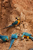 Blue-and-yellow macaw (Ara ararauna)<br /> <br /> You may purchase a print or a digital download. If purchasing a digital download please look at the licensing agreement terms for personal or commercial use.<br /> <br /> There are two options available for this print. You may order any size you like through my site by clicking the buy tab in the upper right corner. In addition you may purchase directly from me a giclée print measuring 12x18 inches, mounted with a 3-inch mat and personally signed by me. The total cost including shipping within the United States is $225.00. <br /> 50% of all sales proceeds in this gallery will be donated directly to the Tambopata Macaw Project.<br /> <br /> To order a print please contact me directly at 253-820-5223 or email me at info@traceykidstonphotography.com.<br /> <br /> For further information on the important research that the Tambopata Macaw Project is doing in Peru, please visit my links page
