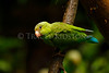 Colbalt-winged Parakeet (Brotogeris cyanoptera)<br /> <br /> You may purchase a print or a digital download. If purchasing a digital download please look at the licensing agreement terms for personal or commercial use.<br /> <br /> There are two options available for this print. You may order any size you like through my site by clicking the buy tab in the upper right corner. In addition you may purchase directly from me a giclée print measuring 12x18 inches, mounted with a 3-inch mat and personally signed by me. The total cost including shipping within the United States is $225.00. <br /> 50% of all sales proceeds in this gallery will be donated directly to the Tambopata Macaw Project.<br /> <br /> To order a print please contact me directly at 253-820-5223 or email me at info@traceykidstonphotography.com.<br /> <br /> For further information on the important research that the Tambopata Macaw Project is doing in Peru, please visit my links page