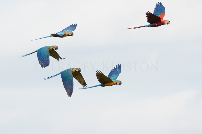 Blue-and-yellow macaw (Ara ararauna) Scarlet macaw (Ara macao)<br /> <br /> You may purchase a print or a digital download. If purchasing a digital download please look at the licensing agreement terms for personal or commercial use.<br /> There are two options available for this print. You may order any size you like through my site by clicking the buy tab in the upper right corner. In addition you may purchase directly from me a giclée print measuring 12x18 inches, mounted with a 3-inch mat and personally signed by me. The total cost including shipping within the United States is $225.00. <br /> 50% of all sales proceeds in this gallery will be donated directly to the Tambopata Macaw Project.<br /> <br /> To order a print please contact me directly at 253-820-5223 or email me at info@traceykidstonphotography.com.<br /> <br /> For further information on the important research that the Tambopata Macaw Project is doing in Peru, please visit my links page