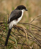 Tarangire Park - Long Tailed Buffalo Shrike
