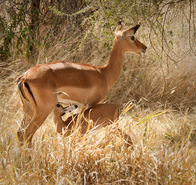 Tarangire Park - Impala with young