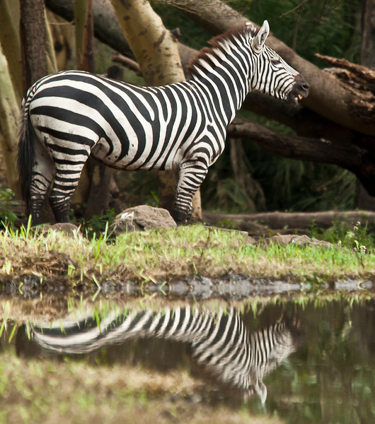 Mount Meru - Zebra
