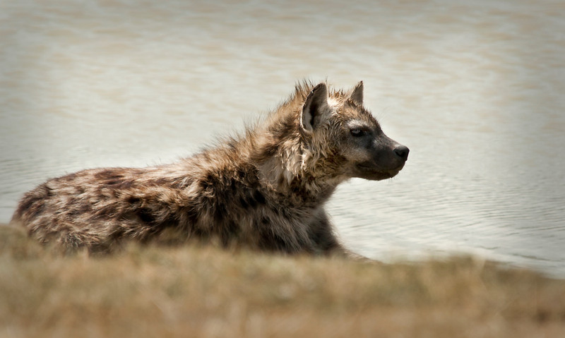 Ngorongoro Crater - Hyena