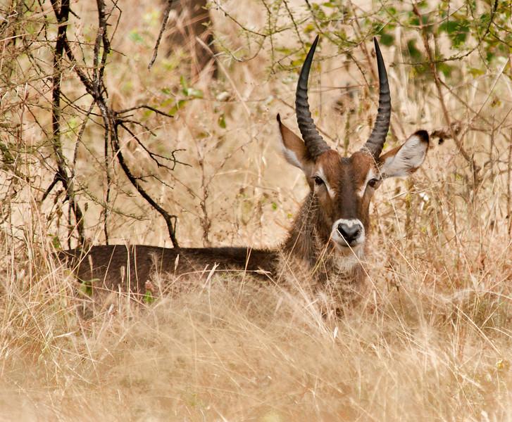 Tarangire Park - Waterbuck