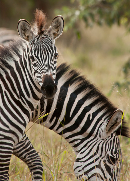 Tarangire Park - Zebra