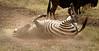 Ngorongoro Crater - Zebra