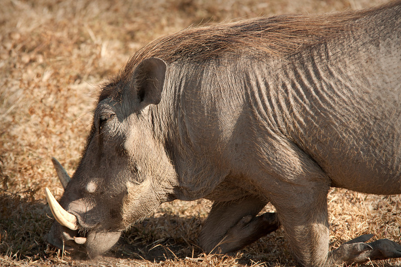 Ngorongoro Crater -Warthog