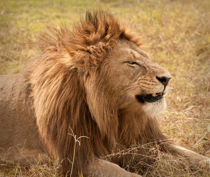 Ngorongoro Crater - Lion