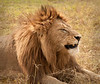 Ngorongoro Crater - Lion