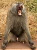 Ngorongoro Crater - Baboon