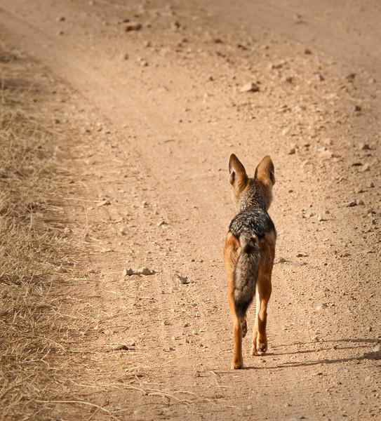 Serengeti - Jackal