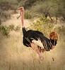 Tarangire Park - Male Ostrich