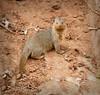 Tarangire Park - Dwarf Mongoose