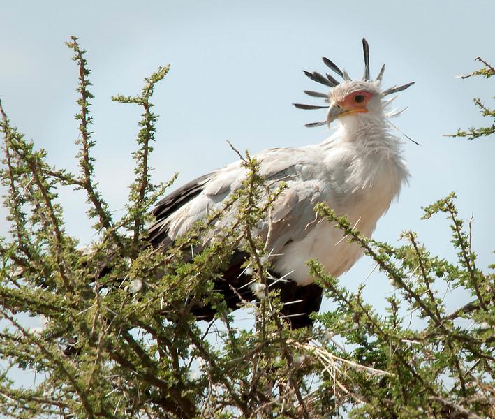 Serengeti - Secretary Bird