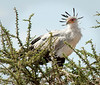 Serengeti - Secretary Bird