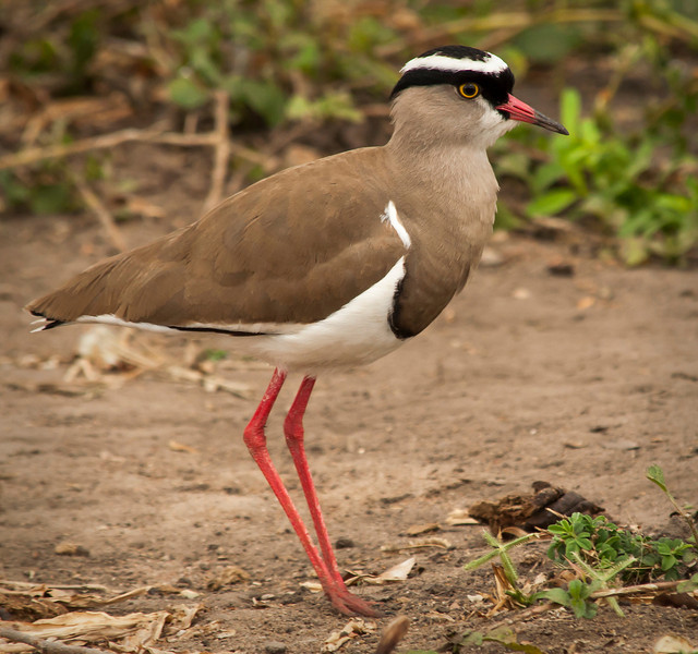 Tarangire Park - Black Crown Plover