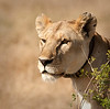 Serengeti - Lioness