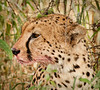 Tarangire Park - Cheetah on Lunch Break