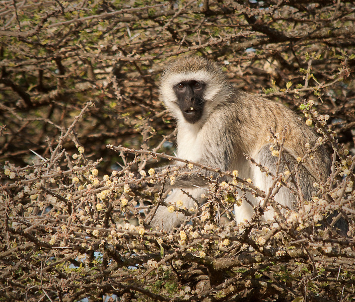 Serengeti - Black Faced Vervet Monkey in Acacia Tree