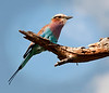 Tarangire Park - Lilac Breasted Roller