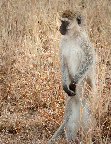 Serengeti - Black Faced Vervet Monkey