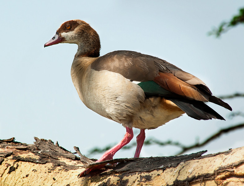 Serengeti - Egyptian Goose